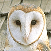 Barn Owls