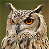 Eagle Owls