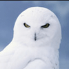 Snowy Owls